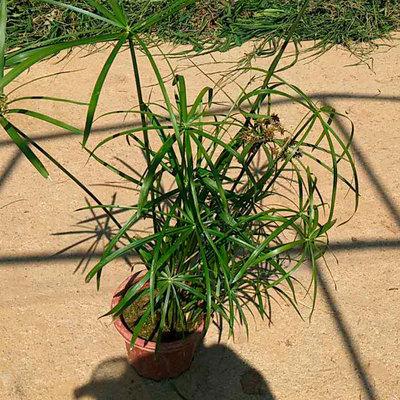 湿地绿化基地直供优质旱伞草 精品旱伞草盆苗批发 净化水质