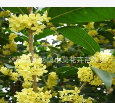 桂花种子 金桂种子 丹桂 月月桂日香桂沙藏直接播种保证出芽