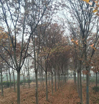 园林植物厂家供应 美观绿化榉树 黑土种植 可乔木