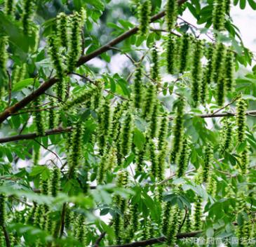 基地工程绿化枫杨树苗 规格全 行道绿化枫杨苗 麻柳 蜈蚣柳
