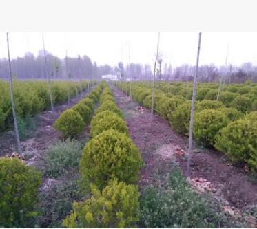苗木场低价热卖苗木 直径40-100公分女贞球 数量大 质量好