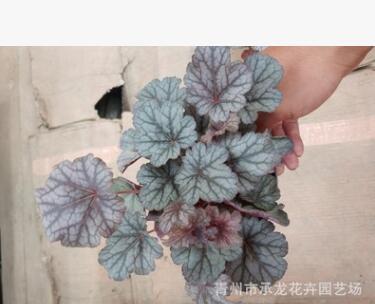 青州花卉苗圃批发销售 矾根5万盆 株型饱满 颜色多样