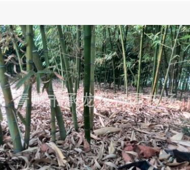 价热卖竹子 银环竹 青竹 毛竹 竹节长 数量大