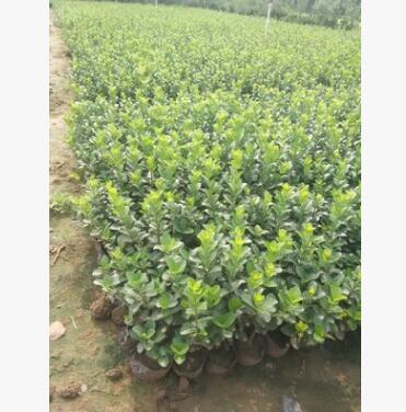 园艺场最新销售苗木 卫茅 品种优良 植株高 分枝多