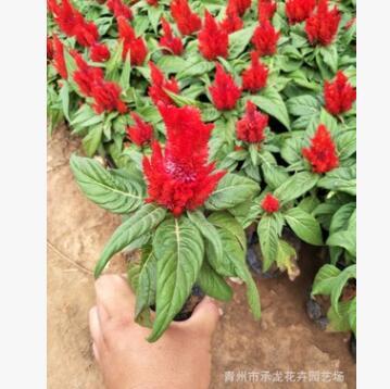花卉合作社五一特供 开花鸡冠花 品质好 价格低 数量大 绿化专供