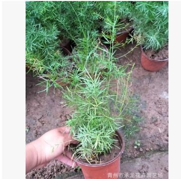 青州花卉基地批发销售 天门冬5万盆 绿化专供 株型饱满 植株健壮