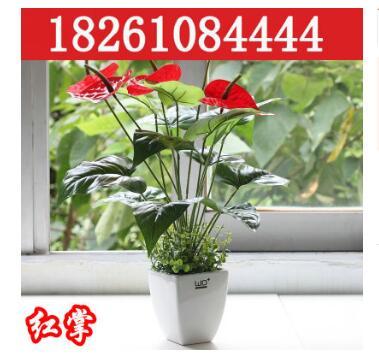 室内盆栽花卉红掌带花 白掌 粉掌 水培植物 盆栽植物带花 不含盆