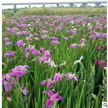 荷花 水生植物基地 湿地景观工程 河道绿化净化水质处理