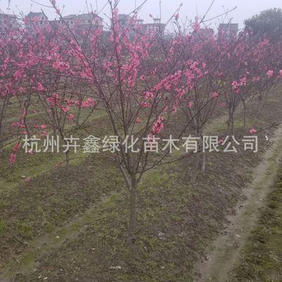 基地直销 花桃 萧山绿化工程 红叶碧桃 桃花