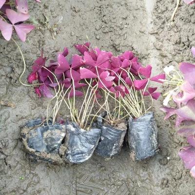 基地直销 红花炸酱草 幸运草三叶草绿化 红叶醡浆草