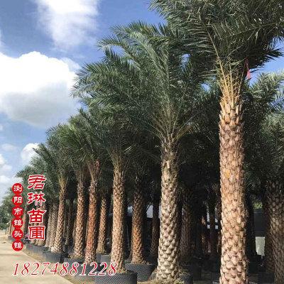 中南海藻盆栽 护坡绿化灌丛 园林植物 景区工程绿化树木