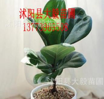 批发盆栽琴叶榕 四季青绿植物 办公室高档盆栽 中型大型盆栽