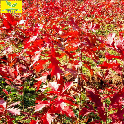 发展前景好的彩叶树 娜塔栎红橡树【0.8 1 2 3公分】红橡树