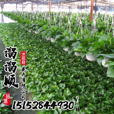 绿萝 水培绿植盆栽花卉 绿萝出水盆 根系发达成活率高