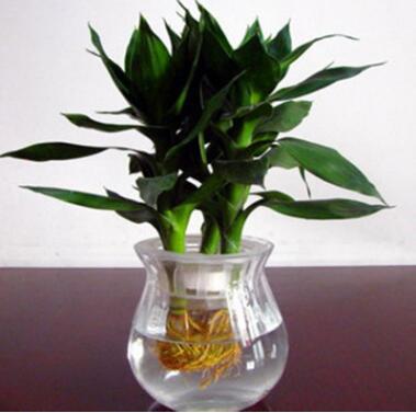 批发 水培植物 观音竹 室内 桌面摆放 四季常青 净化空气