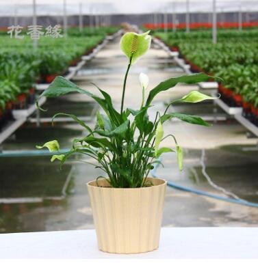 花香缘盆栽植物 白掌 一帆风顺 吸甲醛防辐射 花卉绿植