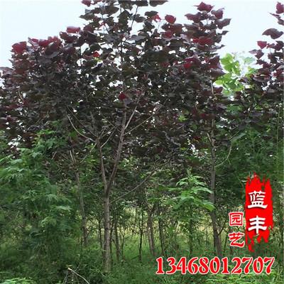 基地直销行道绿化红杨树苗 优质速生红杨树苗 根系发达红杨树苗
