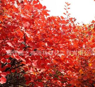 基地直销优质红栌 美国红栌 行道树工程苗 绿化苗木
