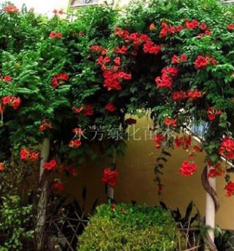 批发进口品种美国凌霄花苗-阳台庭院绿化攀缘植物生长速度快
