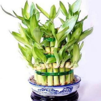 水培植物 富贵竹节节高办公室盆景绿植