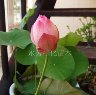 当年开花 迷你碗莲种根 种藕 碗莲根块 颜色品种齐全