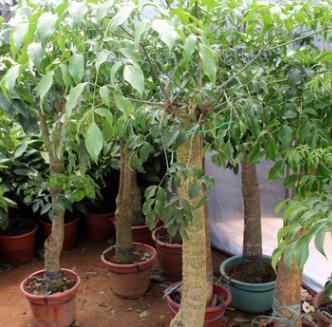 批发室内大型植物平安树 幸福树盆栽 平安树 观叶植物 室内幸福树