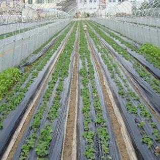 黑色地膜 超薄塑料薄膜除草黑膜保温种植 农用塑料PE薄膜