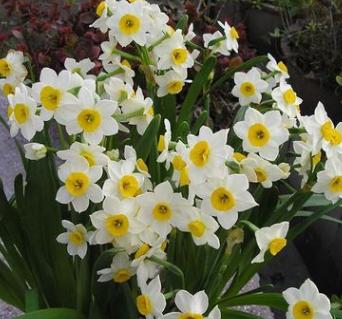 批发水培球根花卉 水仙花种球 盆栽花卉植物 规格全 量大优惠