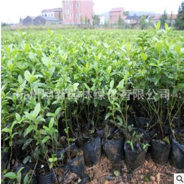 基地直销地中海荚蒾 熊掌木 规格齐全 品种齐全批发供应盆栽