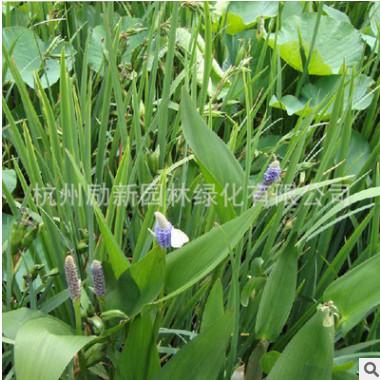 再力花 水竹芋,水莲蕉,塔利亚 水体绿化 湿地绿化工程绿化