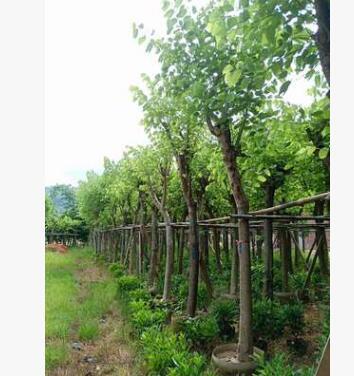 福建厂家直销 庭院公园风景树 园林绿化苗木红花紫荆 羊蹄甲