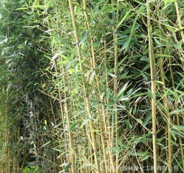 供应庭院观赏竹子观叶植物 金镶玉竹批发 园林竹类绿化苗
