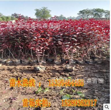 紫叶矮樱种植基地 规格齐全 营养杯苗成活率高