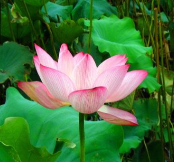 批发水生植物 荷花 种苗 水生花卉 荷花种藕 观赏花卉 荷花种块