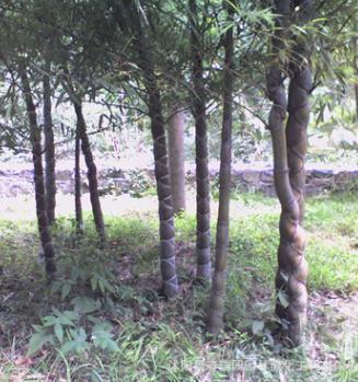 批发龟甲竹小苗 庭院种子龟甲竹苗四季常青工程绿化竹子 量大优惠