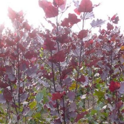 全红杨树苗 园林绿化工程绿地 杨树苗 景观苗木 彩叶杨树