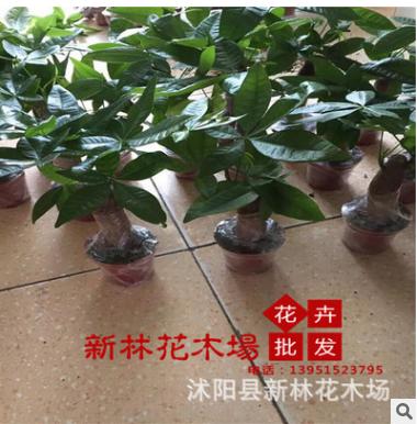 批发零售盆栽花卉 发财树 高25-30厘米左右 小型绿植 净化空气