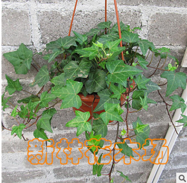 常春藤盆栽 强效除甲醛净化空气植物 卧室办公室绿化