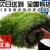求购带泥室外绿植真草皮 四季长青地毯草绿化草皮