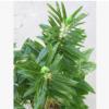 仿真植物单杆芝麻叶农作物果树绿植胡麻黑白脂麻双子叶博物馆用材