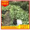 合果芋求购 合果芋盆栽袋苗大量求购 室内绿色植物