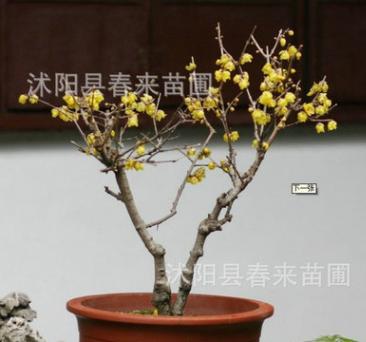 基地批发腊梅 盆栽腊梅 素心腊梅 嫁接腊梅花 腊梅盆景