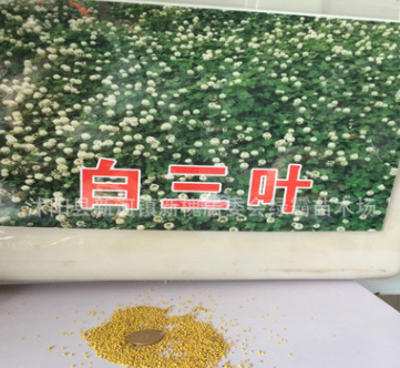 专业销售优质进口草坪种子白三叶草种子幸运草 包发芽率量大优惠
