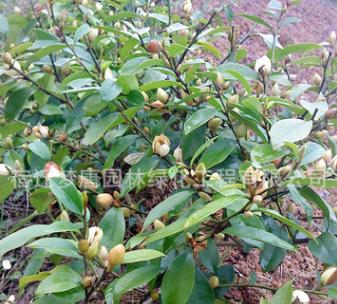 批发盆栽含笑花苗 园林绿化含笑小苗 庭院工程绿化苗木批发