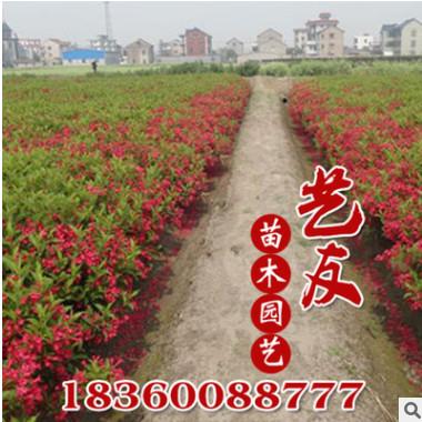 供应红王子锦带 锦带小苗 园林工程绿化苗木 产地直销 低价供应