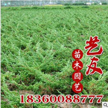 供应铺地柏 地柏苗 自产自销 低价供应 护坡园林工程绿化