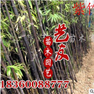 批发竹苗 紫竹 紫气东来 辟邪 庭院园林工程绿化苗木 低价量大