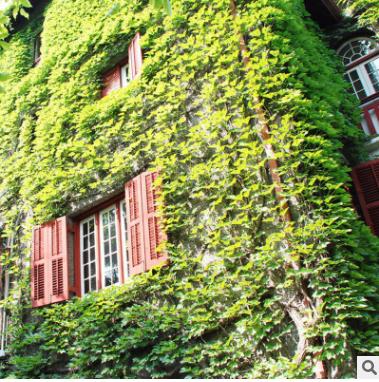 墙体绿化爬山虎苗 藤本植物爬山虎苗 园林观赏植物绿化苗基地直销