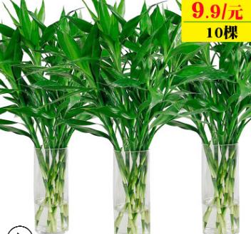 批发水培植物 大叶富贵竹 转运竹 开运竹 水培绿植盆栽植物