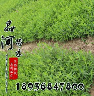 新品热卖 观叶千屈菜 水生植物千屈菜 耐寒水土培植物千屈菜
